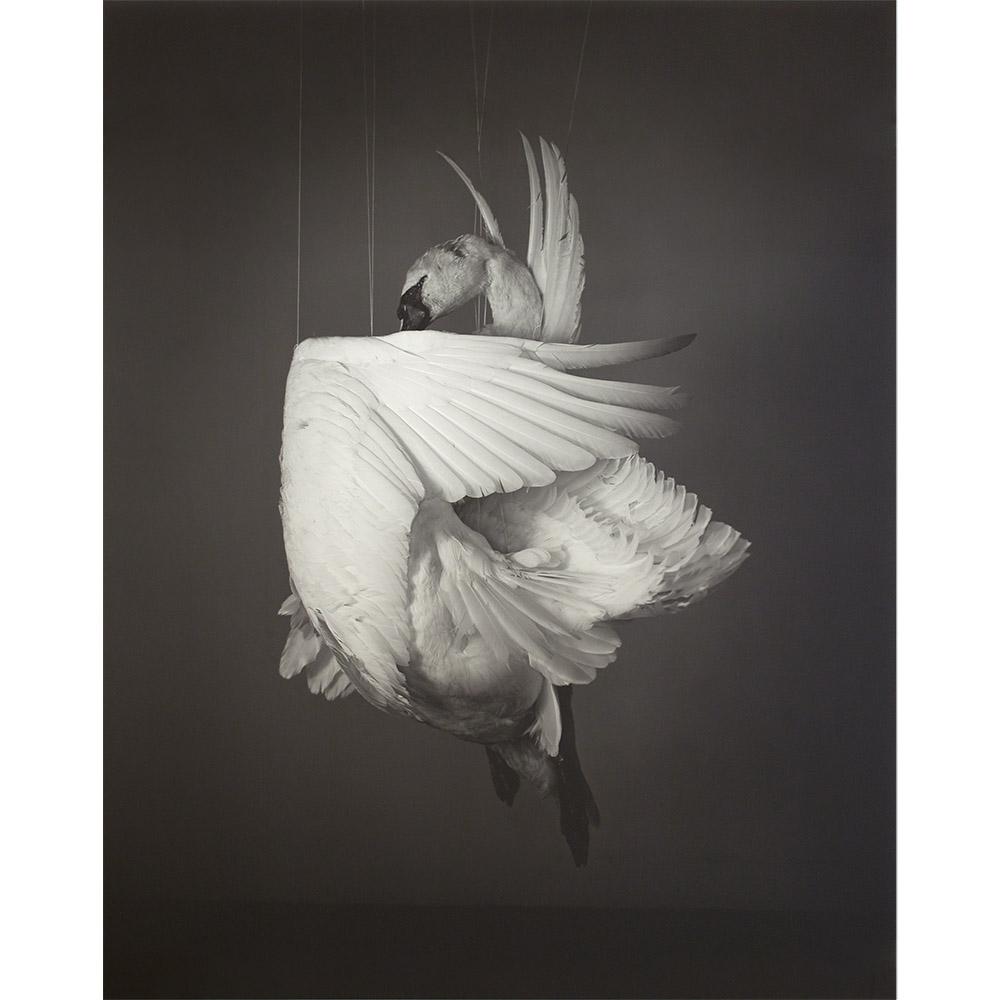<em>Swan,</em> 2013